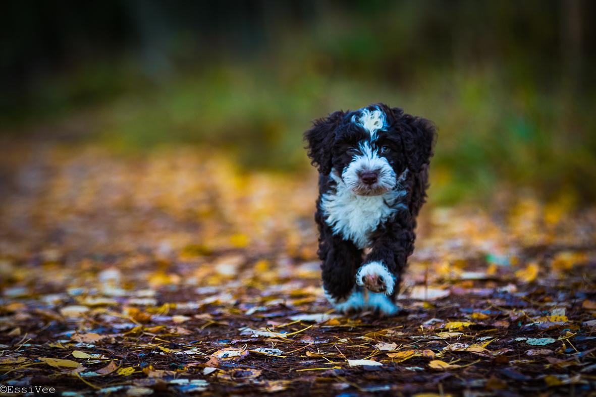 koirakuvaus koiranpentu espanjanvesikoira