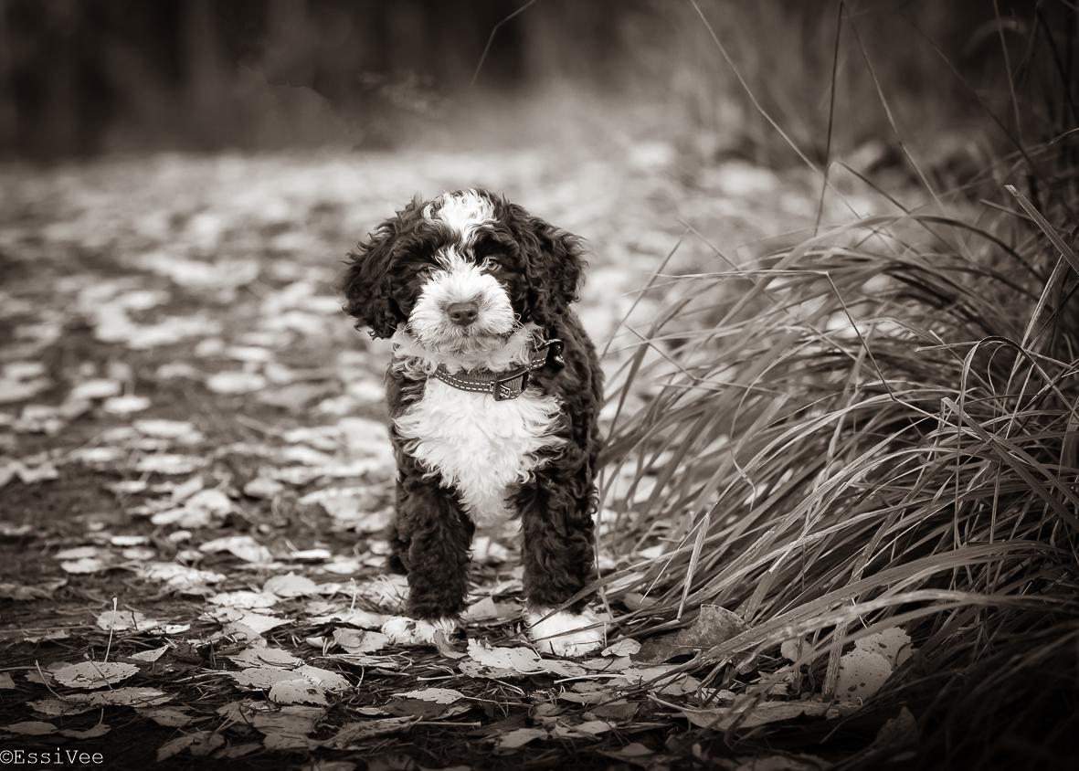 koiranpentu koirakuvaus espanjanvesikoira