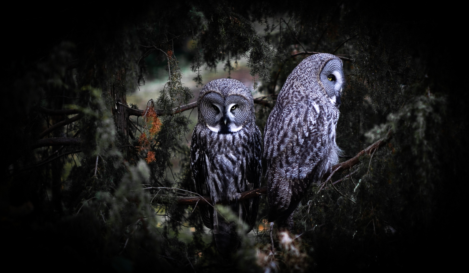 luontokuvaus lintukuvaus pöllö