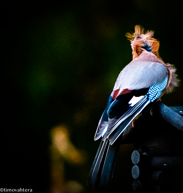luontokuvaus lintukuvaus närhi