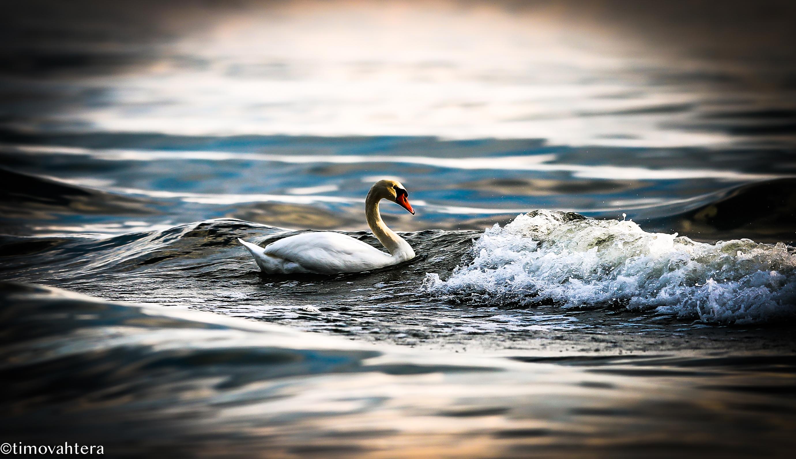luontokuvaus joutsen luontokuva meri aalto