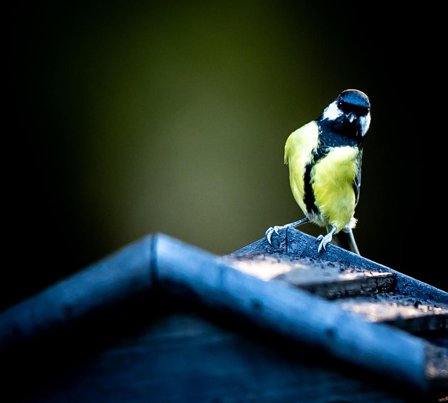 lintukuvaus luontokuvaus talitiainen