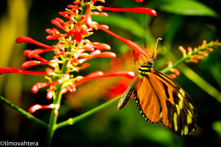 butterfly makrokuva luontokuva perhonen perhoskuva