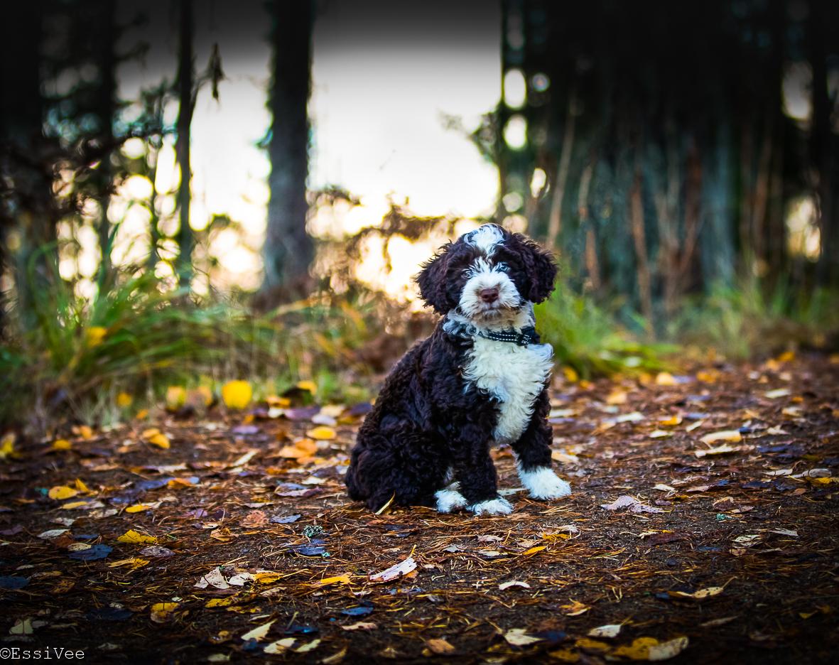 koiranpentu espanjanvesikoira koirakuvaus koira