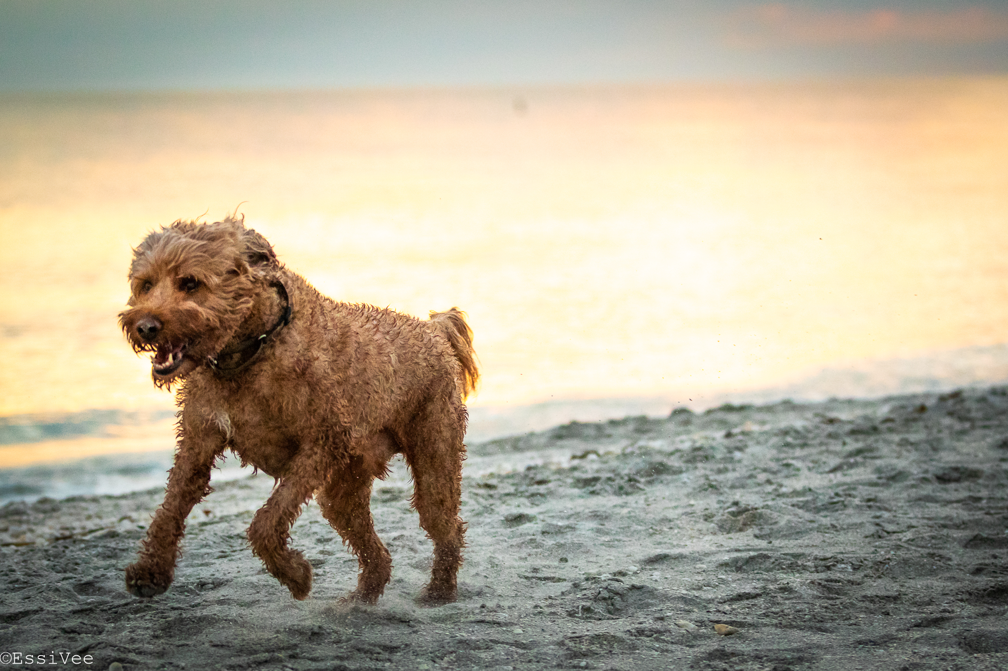 koira ranta koiravalokuvaus auringonlasku