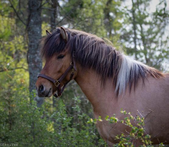 islanninhevonen muotokuva pääkuva yrityskuvaus hästfotograf