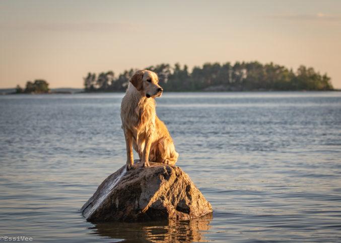 kultainennoutaja auringonlasku lemmikkukuvaus koirakuvaus