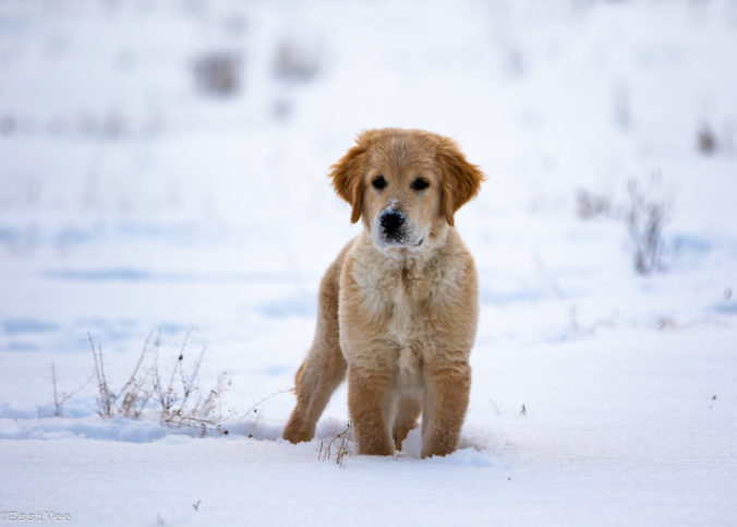 koirakuvaus kultainennoutaja pentu pentukuvaus hundfoto