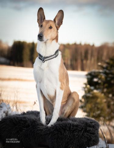 koirakuvaus hudfoto lyhytkarvainen collie muotokuva